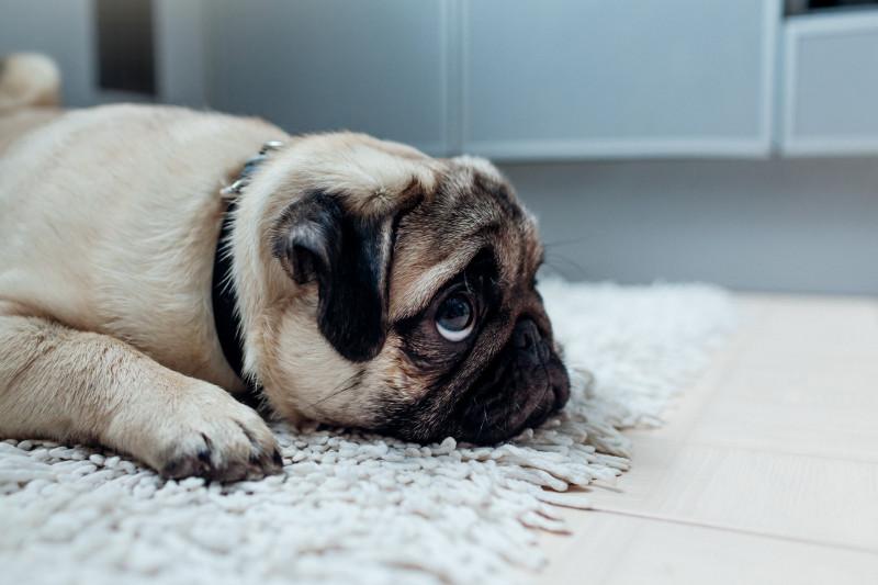 Pug-ul, un catel iubitor de distractie - Veterinarul Pet