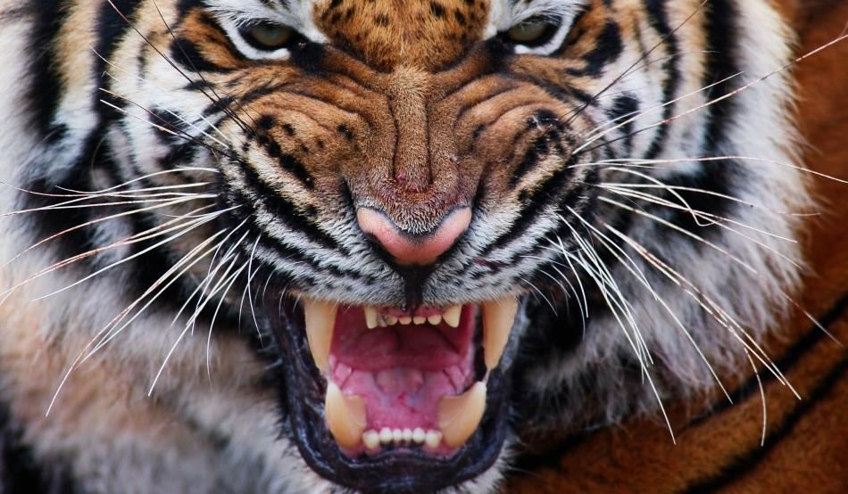 pierderea în greutate a tigrilor gemeni eva corrie înainte de pierderea în greutate