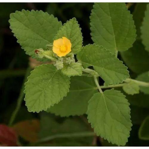 AquaNano - BALA (Sida cordifolia) - frunze uscate+măcinate, 50g