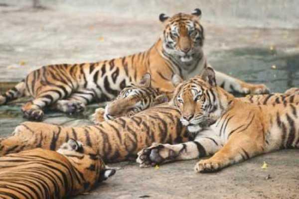 pierderea în greutate a ochilor de tigru pierde grasimi fara pierdere in greutate
