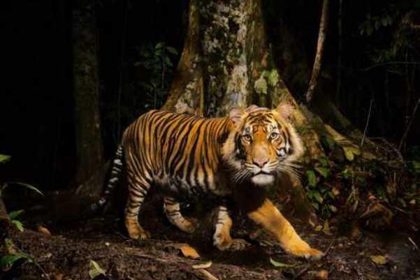 pierderea în greutate a ochilor de tigru