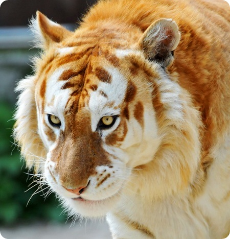 pierderea în greutate a ochilor de tigru sfaturi de slăbit în islam